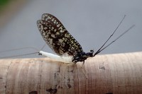Coffin Fly from the Upper Credit River