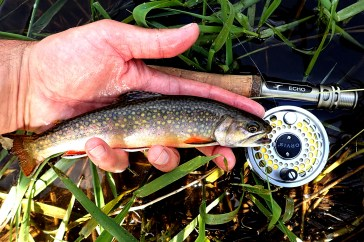 A small stream brook trout from early season.