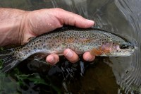 A Rainbow from predominately Brookie water.