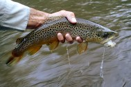 Another nice stream-eating brown.