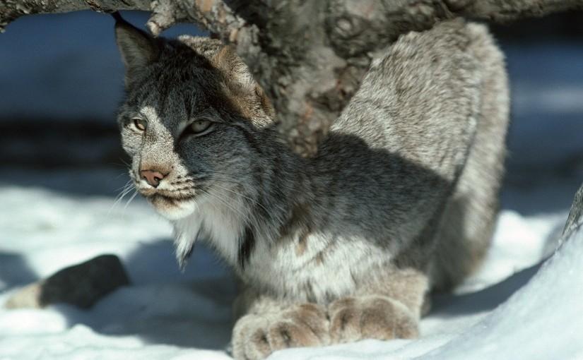 Bobcat Wallpaper Hd Un Roi En Hiver Le Lynx Du Canada Parcs Blog