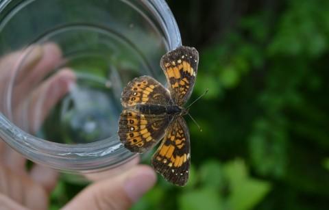 Killarney Butterfly Count