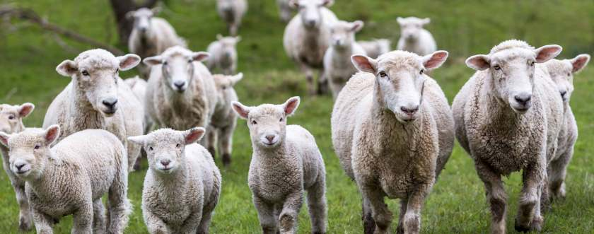 Hasil gambar untuk sheep