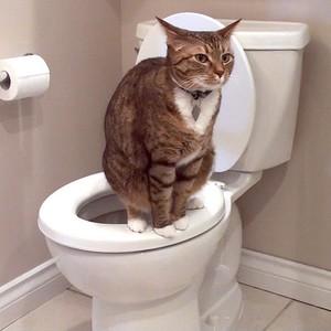 فيديو - قطة تحاول استخدام التواليت و تفشل !
