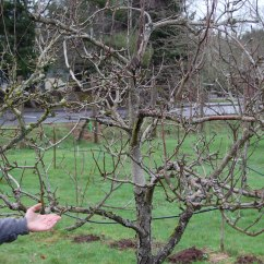How To Prune An Apple Tree Diagram Of 6 Wicket Croquet Pear And Pruning On The Banks Salt Creek