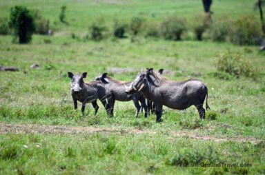 African Safari Warthog in Kenya