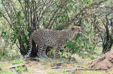 African Safari Cheetah in Kenya