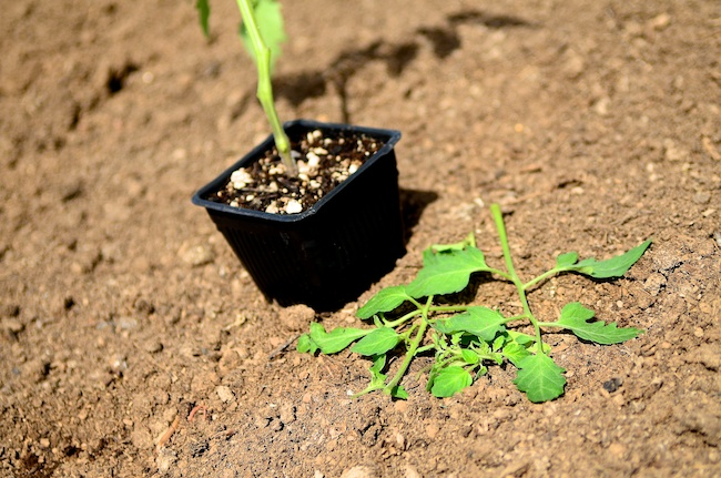 tomato plants - how to plant tomatoes