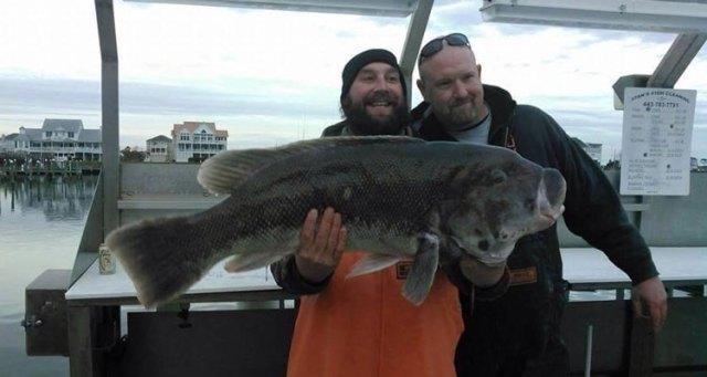 Giant Cape May blackfish