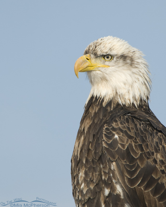 Four year old Bald Eagle vertical portrait - On The Wing ...