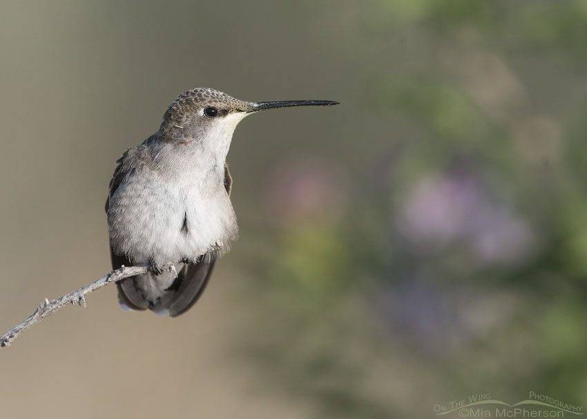 Immature Black-chinned Hummingbird perched on a twig
