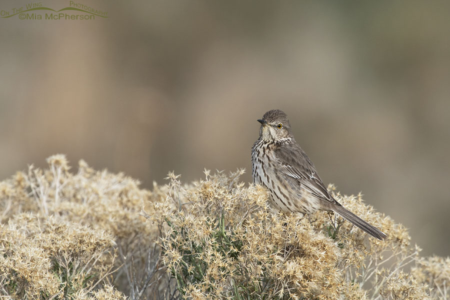 Resting Sage Thrasher Plus My Concerns About Biting Gnats – On The