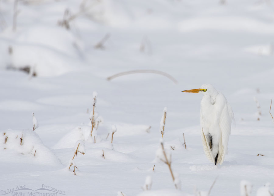 Great Egret in a snowy marsh, Farmington Bay WMA, Davis County, Utah