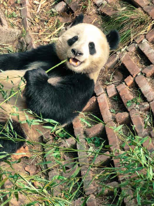 Www Bing Com1 Microsoft Way Redmond: Chengdu, China: Cute Giant Pandas Feeding And Playing