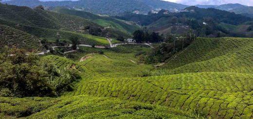 tea plantations cameron highlands malaysia