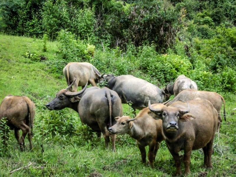 Kalaw Inle Lake Trek Myanmar Ox Photo Ooaworld