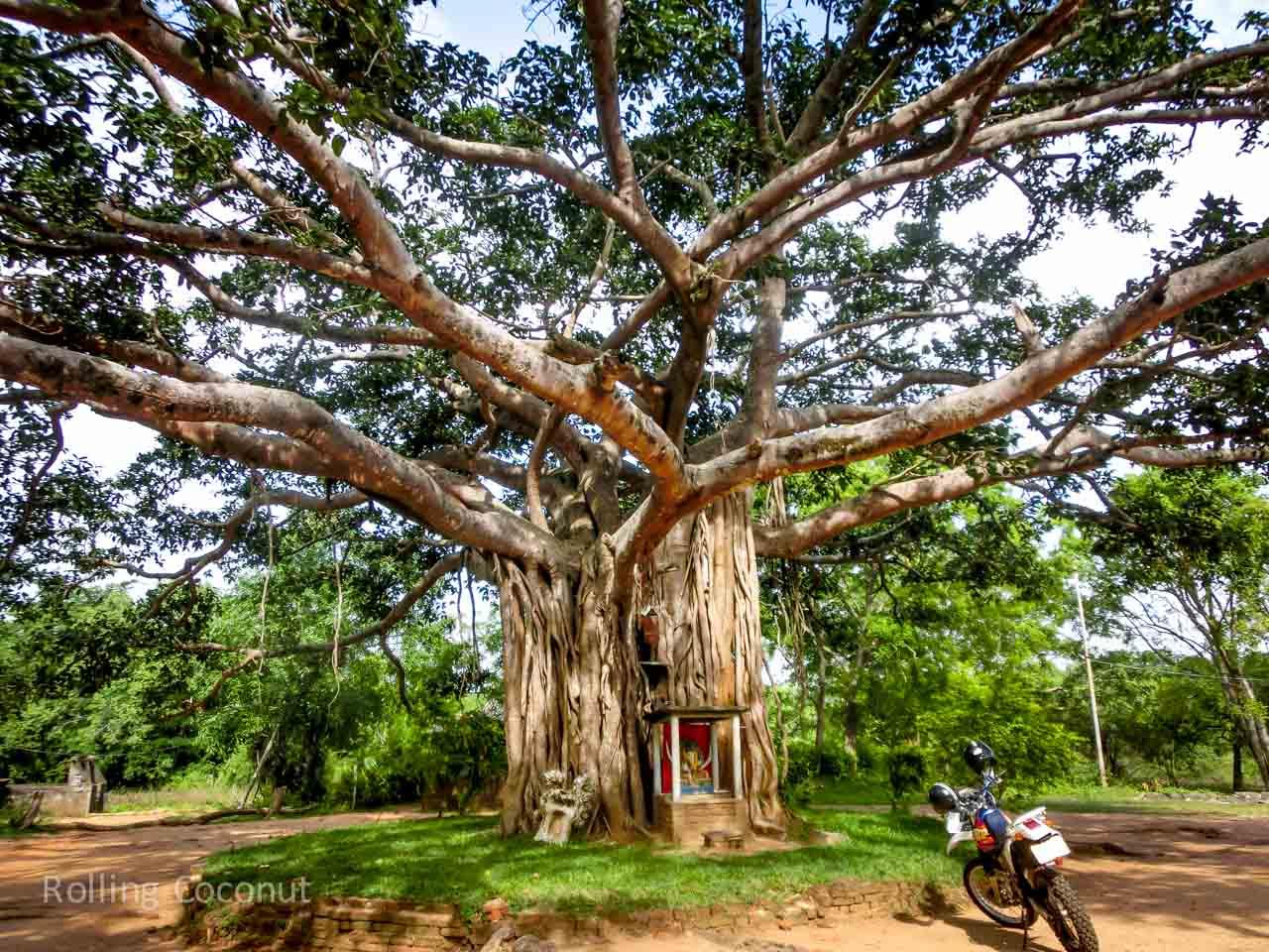Sigiriya Sri Lanka itinerary Bodhi Tree ooaworld Rolling Coconut Photo Ooaworld