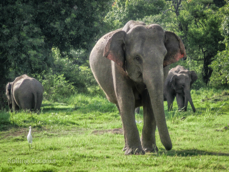 Habarana Elephants Safari Bird Minneriya Sri Lanka ooaworld Rolling Coconut Photo Ooaworld