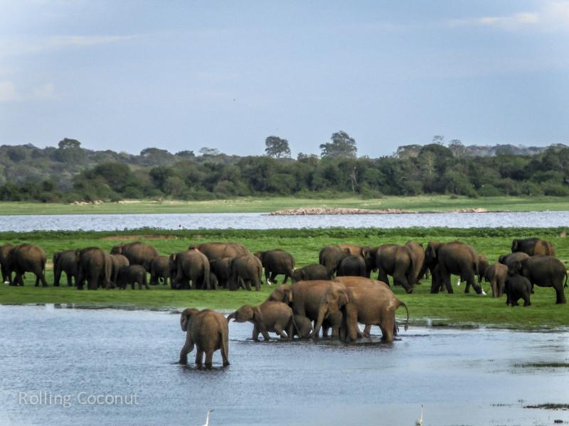 Habarana Elephants Safari Migration Minneriya Sri Lanka ooaworld Rolling Coconut Photo Ooaworld