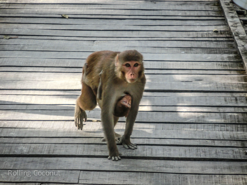 Bangladesh Mongla Sundarbans Monkey and Offpsring ooaworld Rolling Coconut Photo Ooaworld