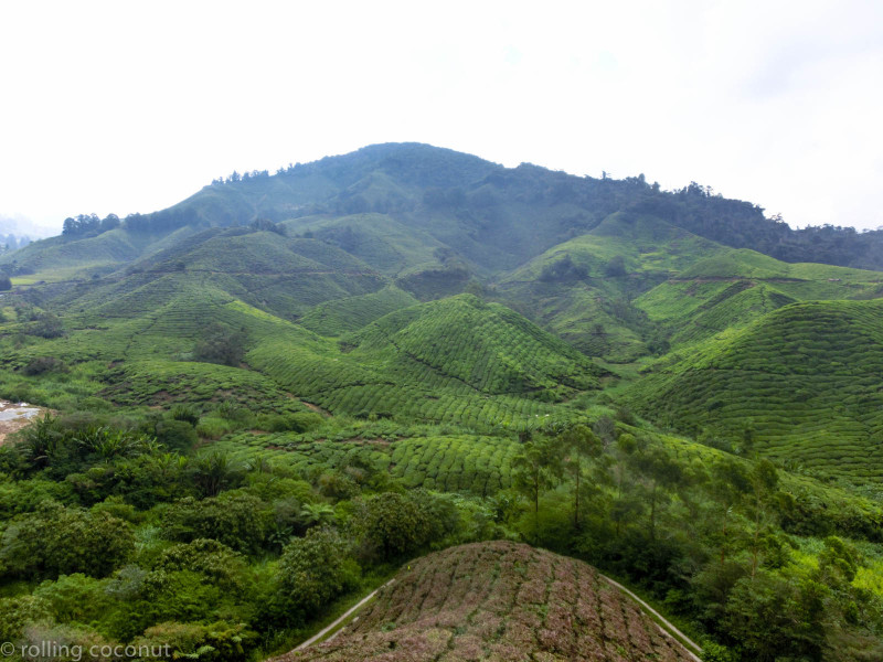 Tea Plantations Cameron Highlands photo ooaworld Rolling Coconut