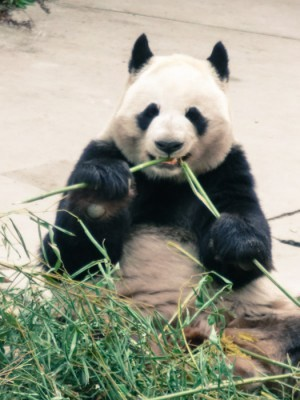 A stop at the Chengdu Research Base of Giant Panda Breeding is a MUST
