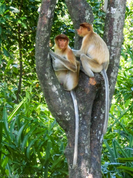 Female proboscis monkeys Labuk Bay Borneo photo ooaworld Rolling Coconut
