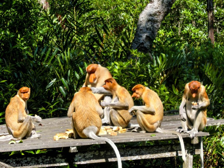 Lunch proboscis monkeys Labuk Bay Borneo photo ooaworld Rolling Coconut