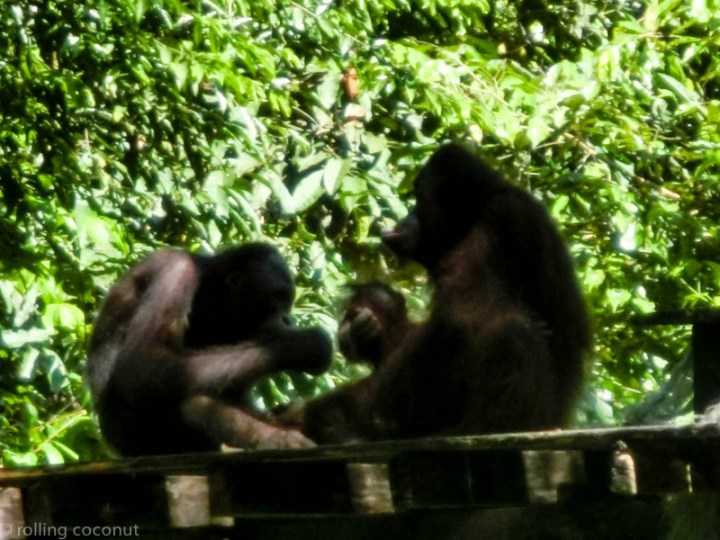 Orangutans lunch Sepilok Borneo photo ooaworld Rolling Coconut