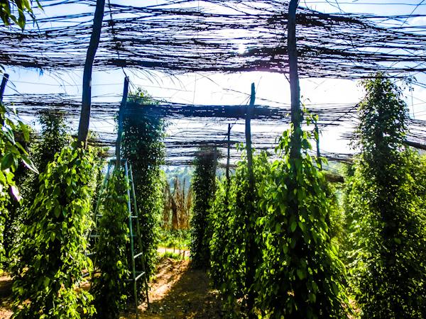 pepper farm kampot cambodia photo ooaworld Rolling Coconut