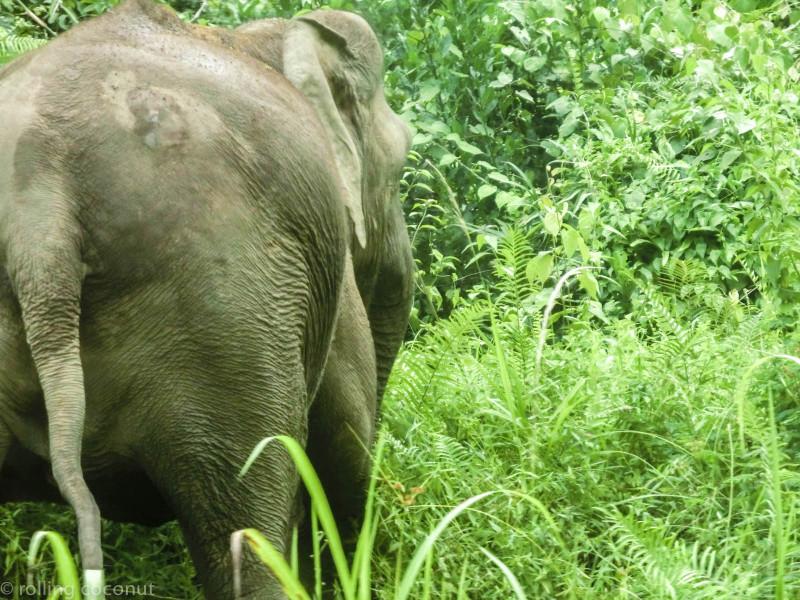 Pygmy elephant Danum Valley photo ooaworld Rolling Coconut