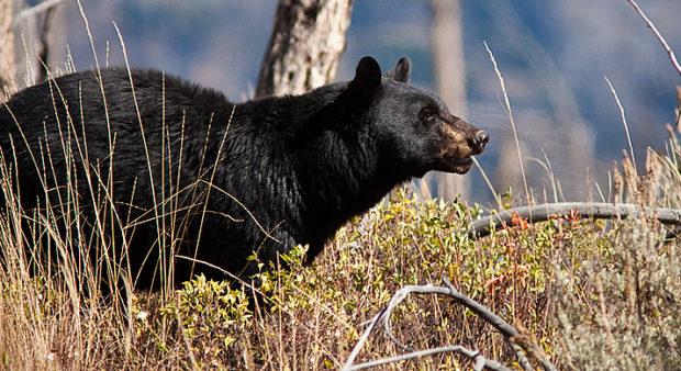 animal - an alert bear
