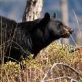 bear action - bear attack - Spring bear hunt revisited - animal - spring bear hunt confirmed - bear management pilot program - an alert bear