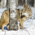 coyote set - Residents in northern Ontario waiting to learn whether a limit on coyote hunting will be lifted