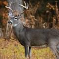Buck-woods-fall