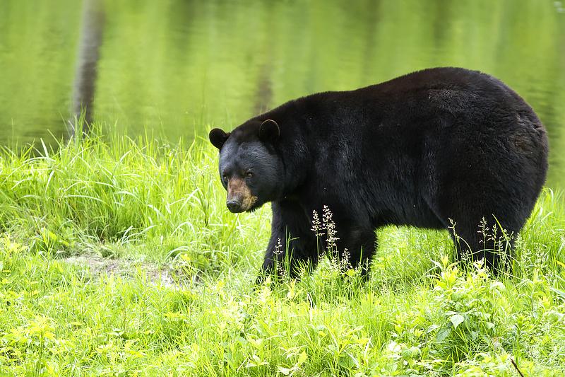 Spring bear hunt pilot expanded