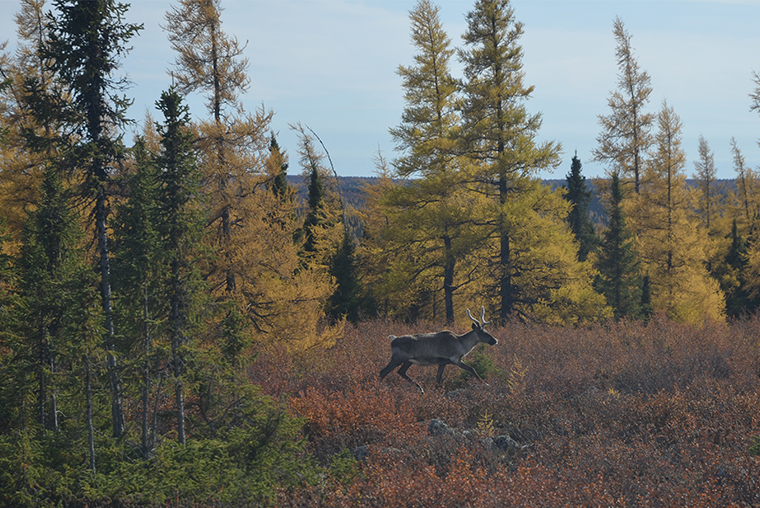 caribou relocation