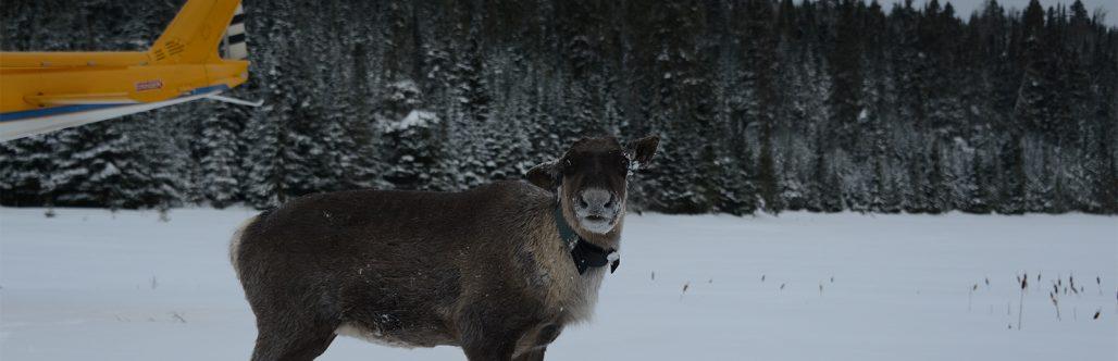 caribou relocation