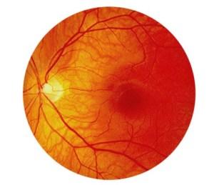 Figuur 9. Overzicht van het centrum van het netvlies zoals de oogarts het waarneemt wanneer hij/zij door de pupil kijkt. De oogzenuw (papil) is geel van kleur; de macula is het gedeelte van het netvlies dat het scherpste beeld produceert.
