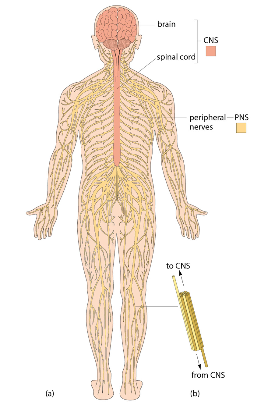 hight resolution of figure 12 a the human nervous system showing the cns and pns b a diagram of a small peripheral nerve showing the mixture of nerve fibres travelling from