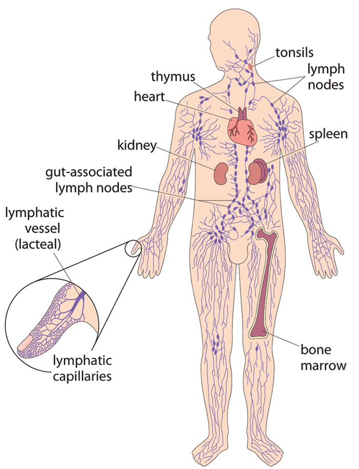 diagram nodes lymphatic system haltech sport 2000 wiring olcreate heat cd et 1 0 communicable diseases module 37 other the human