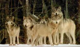 36. Wolf pack