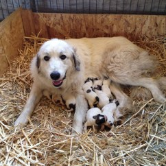 Kitchen Rugs And Mats Sinks Stainless Lgd - Great Pyrenees Puppies! Other Products By Wings ...