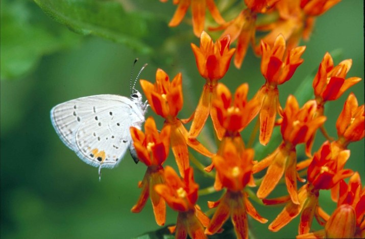 eastern-tailed-blue_butterfly-blog