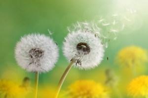 Dandelion meditation