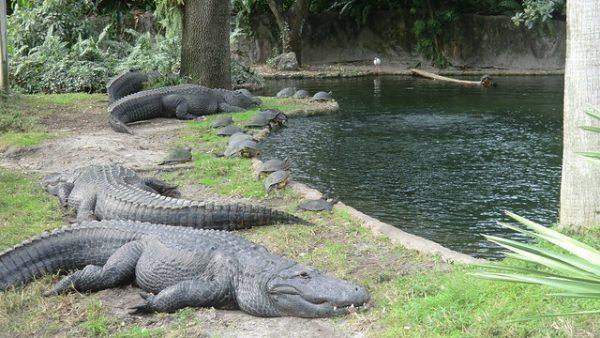 busch gardens alligators