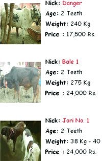 LAHORE: Online Bakra Mandis doing good business | Overseas