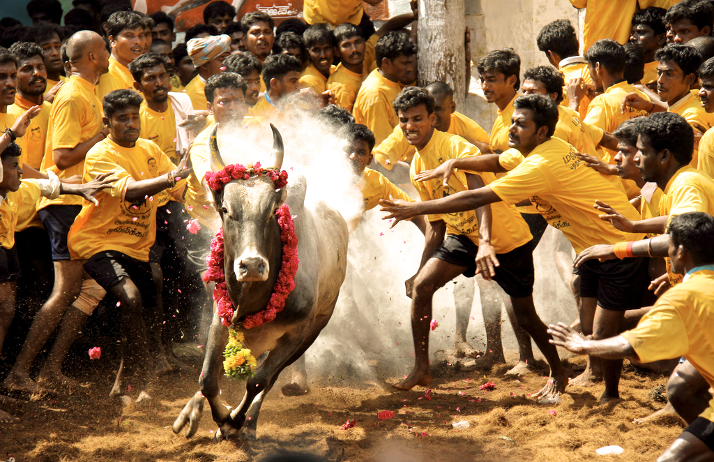 The hypocrisy of those condemning Jallikattu, while eating meat everyday