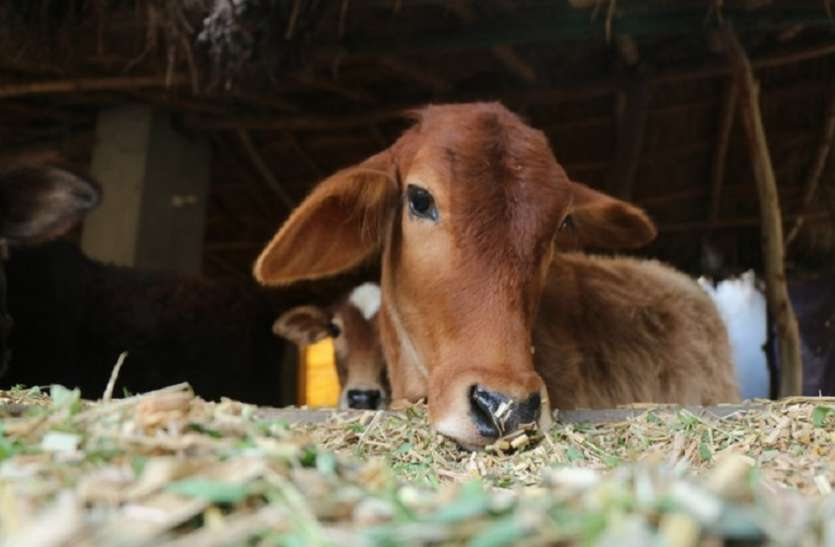 Karnataka: Cow smuggler dies on the spot after stolen cow hits him in the groin - Opindia News