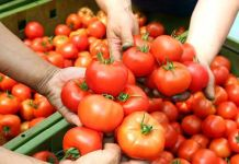 No tomatoes for Pakistan , say MP farmers